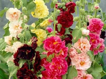 Шток-роза любить сонячні місця і помірний полив