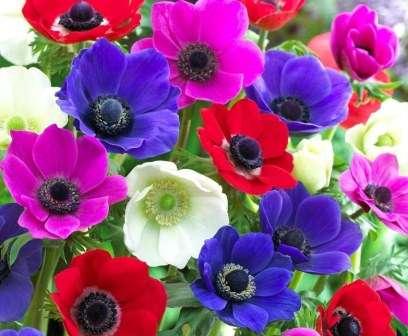 Яскраві квіти анемони прикрасять будь-яку клумбу.