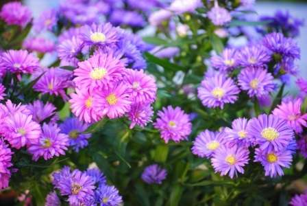 Квіти айстри можуть мати найрізноманітніші відтінки.