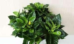 Гарденія (лат. Gardenia) - чагарник або невелике вічнозелене деревце сімейства маренові.