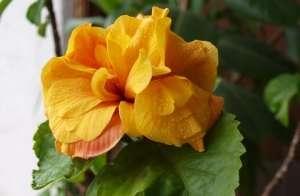 Гібіскус, Китайська троянда