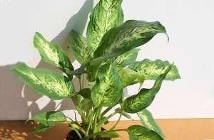 Диффенбахія (лат. Dieffenbachia) - відноситься до вічнозеленого сімейства ароїдних (Araceae),