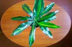 Драцена запашна (лат. Dracaena fragrans) - вічнозелений чагарник, вид роду Драцена