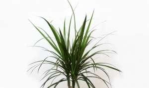 Драцена облямована (лат. Dracaena marginata) - дерево, вид роду Драцена (Dracaena)