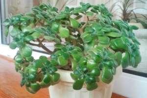 Крассула (Толстянка) (лат. Crassula) - рослина сімейства Товстолисті