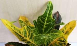 Кодиеум (лат. Codiaeum) - рід рослин сімейства Молочайні (Euphorbiaceae)