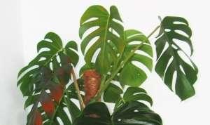 Монстера (лат. Monstera) - ліана з сімейства ароїдних