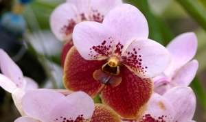 Орхідея Ванда
