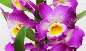 Орхідея Дендробіум
