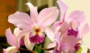 Орхідея Каттлея