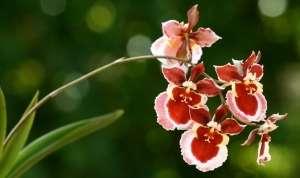 Орхідея Онцидіум