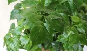 Радермахера (лат. Radermachera) - рослина сімейства бігнонієві.
