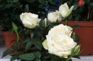 Кімнатні троянди відносяться до сімейства Розоцвіті (Rosaceae)