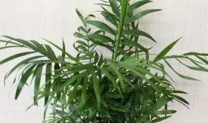 Хамедорея, бамбукова пальма
