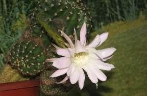 Ехинокактус, Єжов кактус