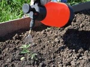 Вирощування помідорів безрозсадним способом