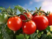 Голландські сорти помідорів для відкритого грунту та теплиці в Україні
