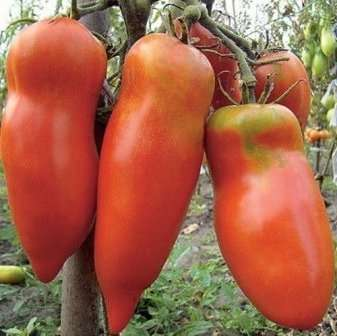 Алий Мустанг урожайний сорт для відкритого грунту