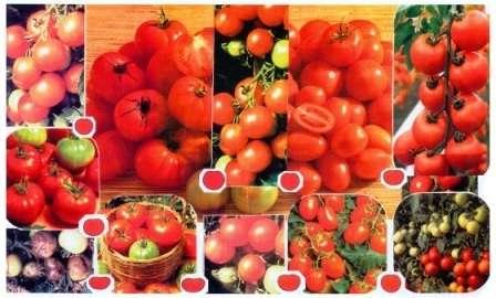 Популярні високорослі сорти томатів для відкритого грунту