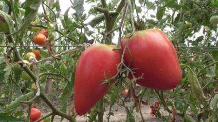 Індетермінантний томат Чудо землі