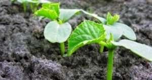 Пророщування насіння огірків перед посадкою : покрокова схема дій