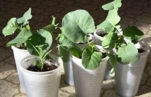 Коли саджати цвітну капусту на розсаду. Методи її вирощування