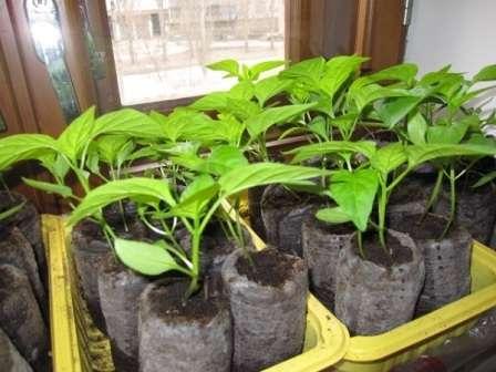 Після насичення насіння мінералами розсада виростає міцною