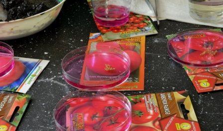 Обробка та підготовка насіння помідорів до посіву на розсаду