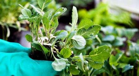 Особливості вирощування білокачанної капусти