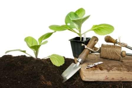 Коли сіяти насіння на розсаду білокачанної капусти