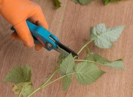 Розмноження малини зеленими живцями