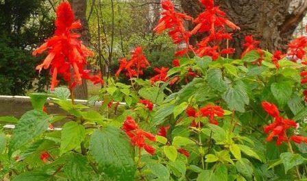 Квітка Сальвія: коли садити і як вирощувати розсаду. Фото квітів