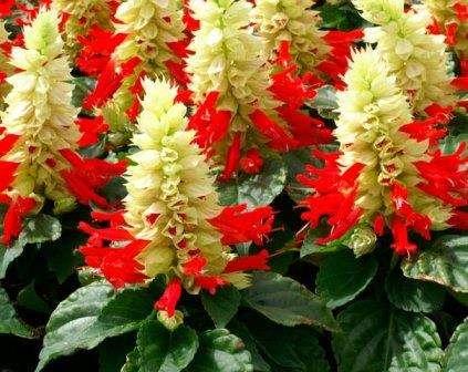 Сальвія – посадка й догляд, вирощування з насіння