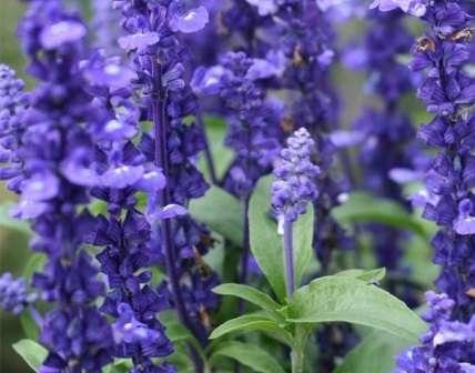 Фото квітів сальвії