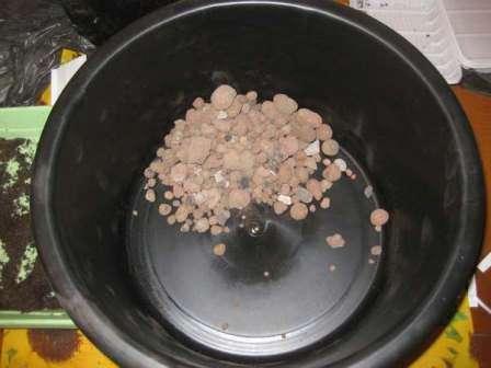 Вирощуємо сальвію з насіння для дачних клумб