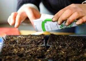 Селера коренева - технологія вирощування розсади та основні заходи її догляду