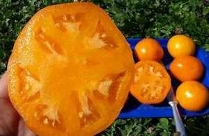 М'ясистий помідор сорту Хурма