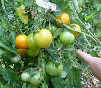 Кущі помідорів сорту Хурма вимагають підв'язки