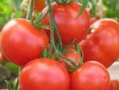 Томат Любаша F1: Вирощування ранніх сортів томатів у теплиці, грунті