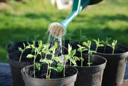 Вирощуючи розсаду перцю не забувайте про підгодівлю