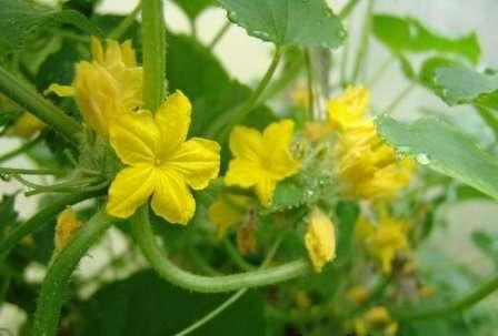 Підживлення огірків в період цвітіння у відкритому ґрунті