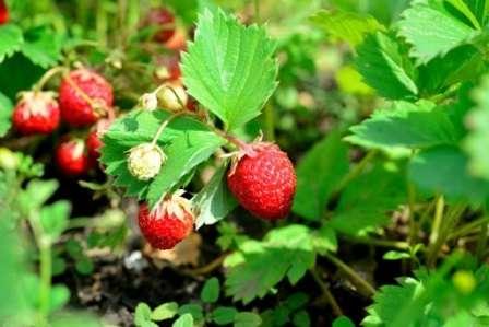 Весняна підгодівля та обробка полуниці від шкідників