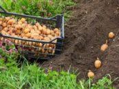 Як і коли вносити добрива для картоплі при посадці в лунку у відкритий грунт