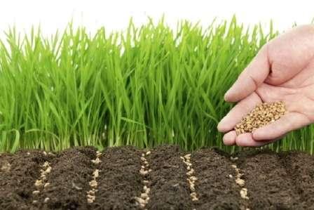 Сидерати структурують і удобрюють землю на городі