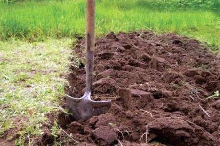 Після вирощування сидератів не потрібно копати город