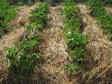 Мульча зберігає вологу в ґрунті і удобрює його