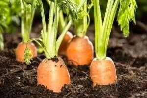поради для гарного урожаю моркви