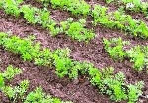 Де посадити моркву