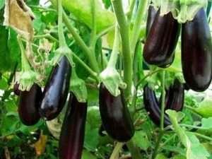 Вирощування баклажанів у відкритому ґрунт