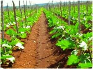 Як правильно вирощувати баклажани